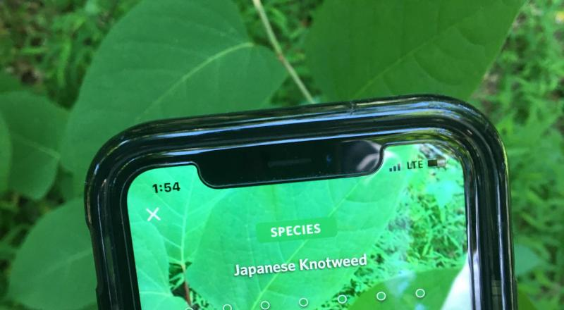 Seek App Japanese Knotweed. Photo by Brent Boscarino.